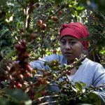 Centroamérica en conjunto produce la quinta parte de los granos de café arábigo en el mundo. Foto EDH / archivo