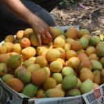 Festival del mango, delicias tropicales