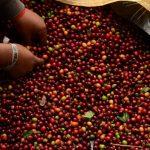 C.A. perdió $243 Mlls. durante últimas dos cosechas cafeteras por roya