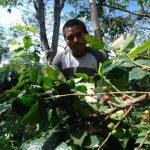 Cafetales salvadoreños son afectados por la roya.
