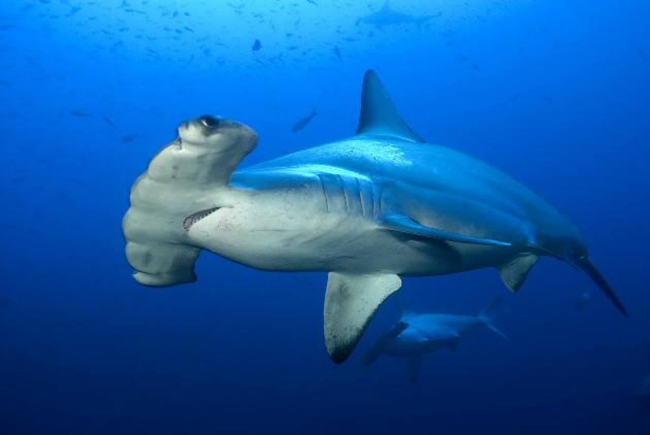 En curso veda de pesca, comercialización y consumo de tiburón martillo