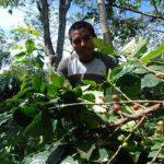 Exportaciones de café salvadoreño se desploman por roya