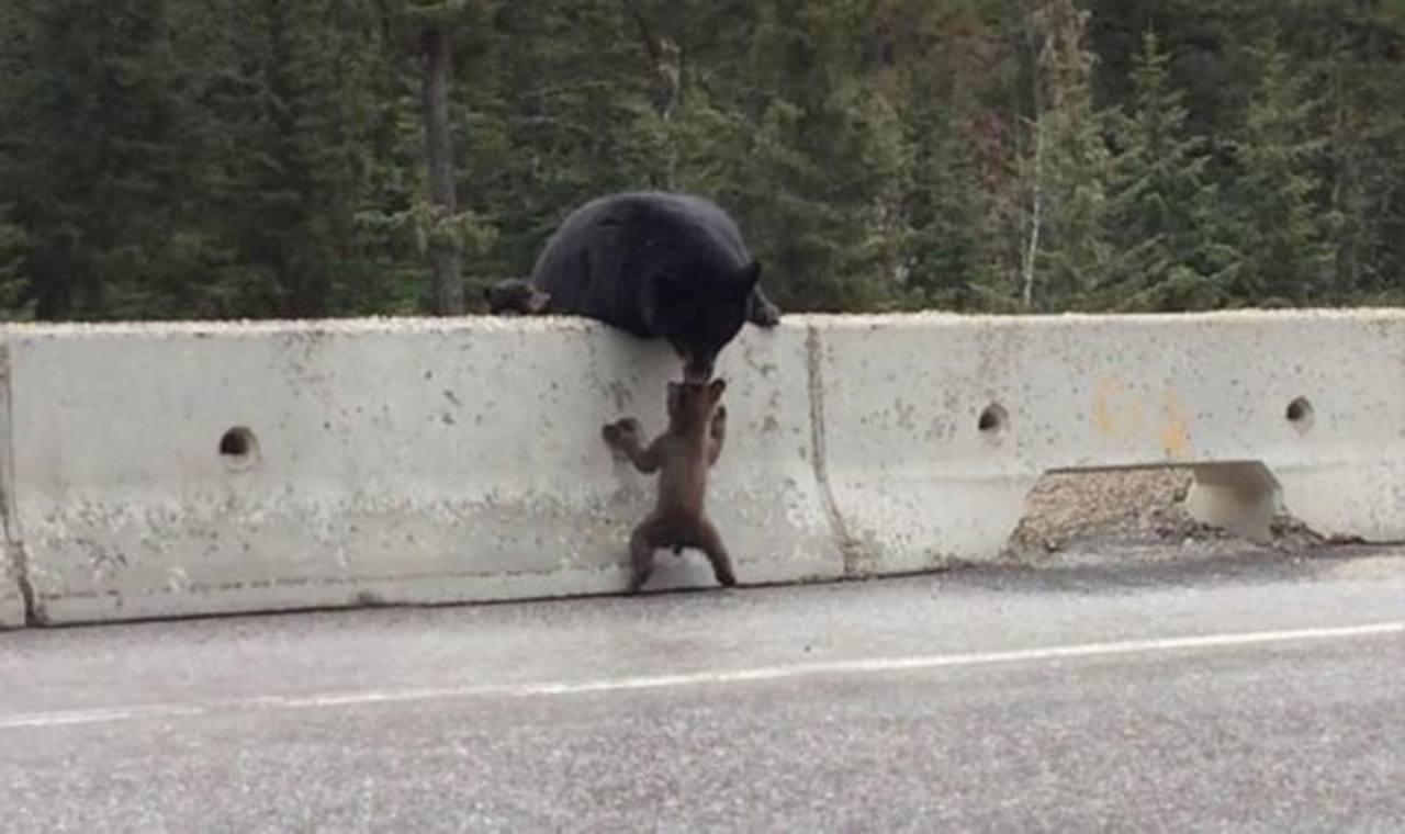 Momento en que mamá oso rescata a su bebé de la carretera