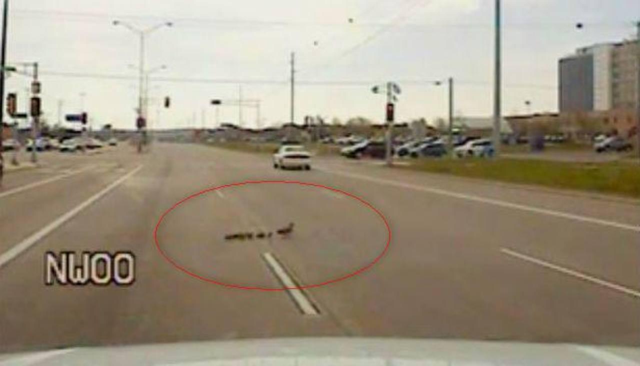 Video: ¡Alto!, mamá pata y sus crías cruzan la calle