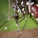 Mutación inmuniza al mosquito de la malaria contra DDT