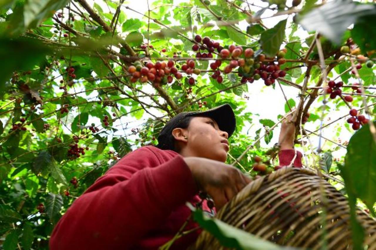 Más del 50% de las compras totales de Starbucks provienen de México, C.A. y Sudamérica. Foto EDH/ ARchivo.