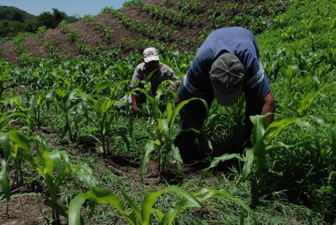 Sectores como granos básicos y el café están siendo afectados por medidas tardías y factores climáticos. foto edh /