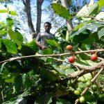 El fondo de café brindará apoyo social no reembolsable a más de 16,000 familias afectadas por el hongo de la roya, indicó. Foto EDH