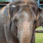 Zoológico de Houston quiere que elefanta embarazada pierda 228 kilos