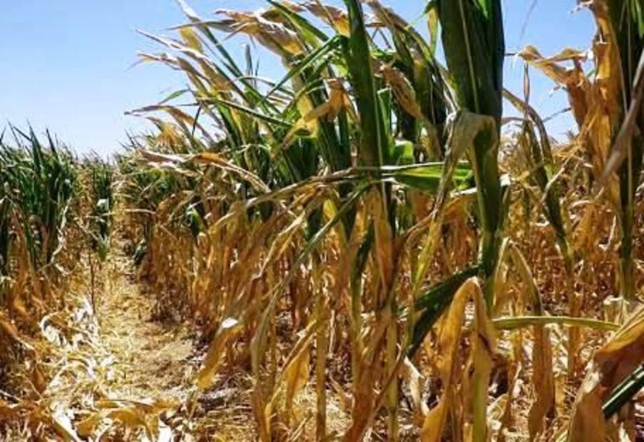 El Niño trae sequía en zonas productivas de Nicaragua.