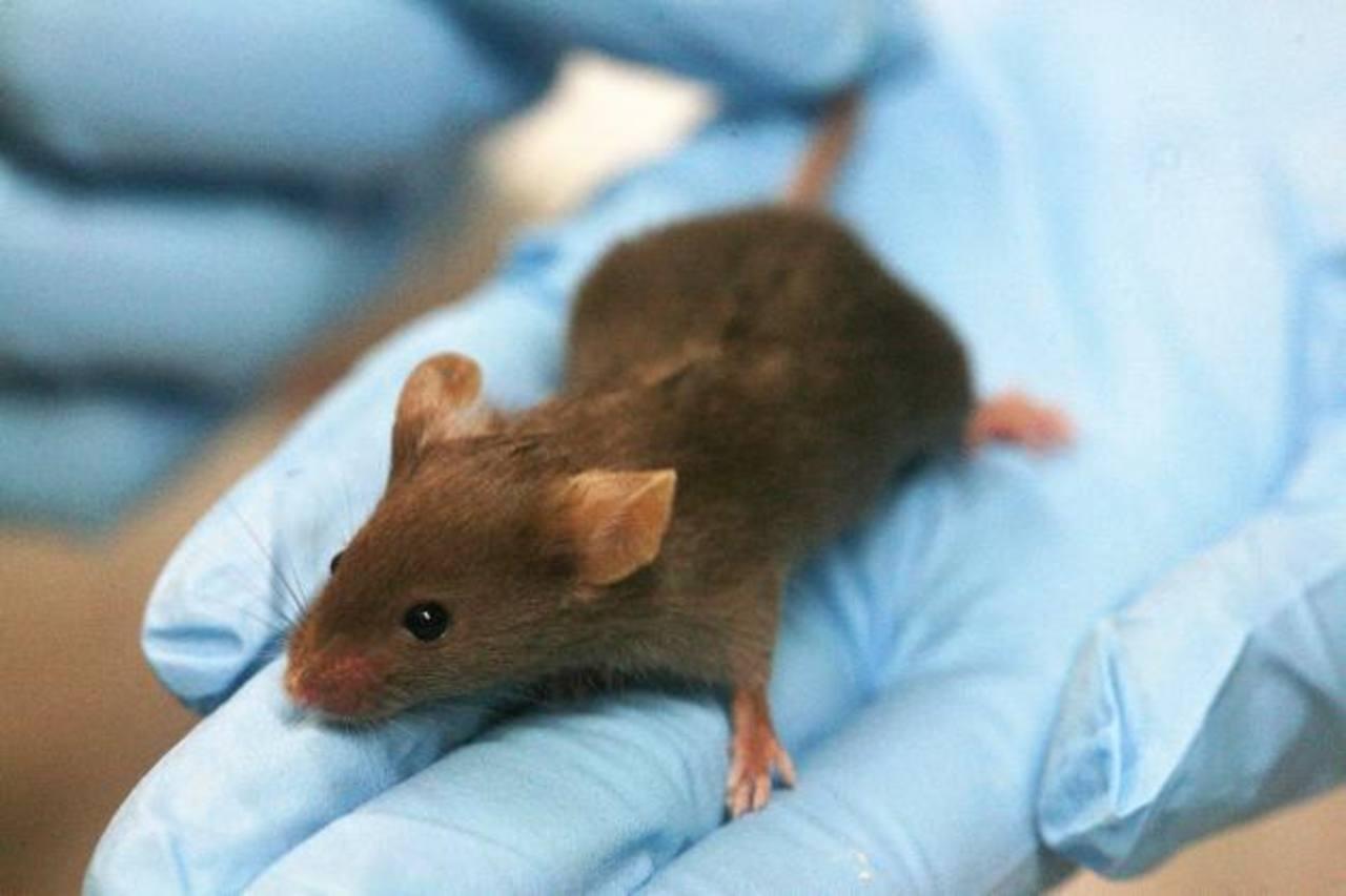 """Los científicos inyectaron el """"cóctel"""" de genes directamente en el corazón para inducir la reprogramación celular. foto EDH"""