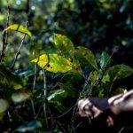 MAG declara emergencia fitosanitaria por roya