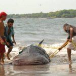 Pescadores de la playa El Tamarindo reportaron el hallazgo del tiburón ballena a las autoridades.