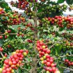 El café mantiene precios aceptables en el mercado. foto edh