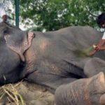 El elefante Raju, de la India, habría llorado trs su liberación, asegura representante de WildLife SOS.