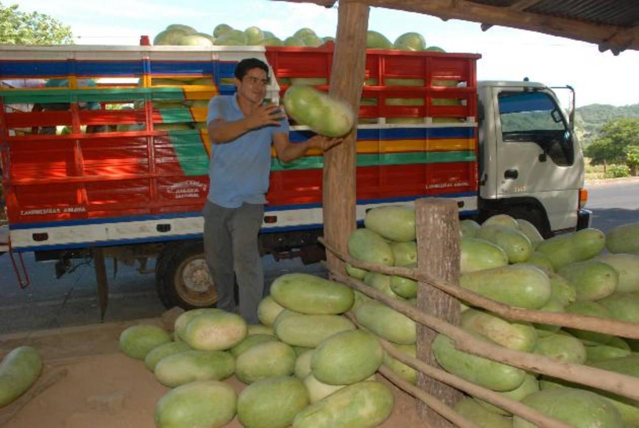 Las pérdidas en la cosecha de sandía tienen preocupados a los productores, quienes han comenzado a comprar producto para revenderlo. foto edh / insy mendoza