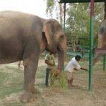 Las historias de ambos elefantes son similares. Al igual que Raju, Phoolkali fue rescatada.