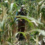 En el país se han perdido 6.6 millones de quintales de maíz