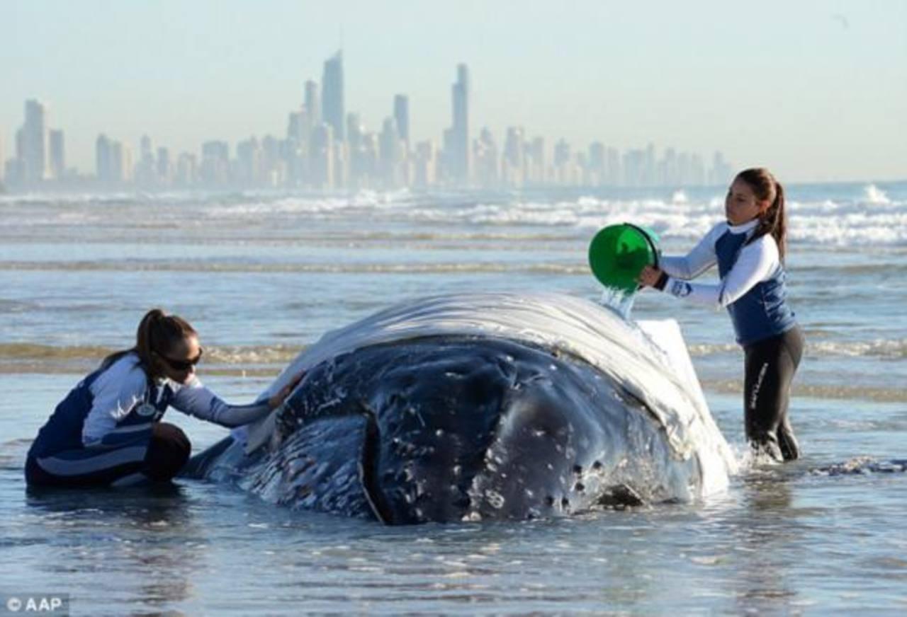 Fotos: Liberan ballena jorobada atascada en banco de arena