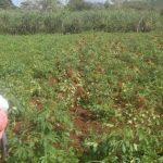 Los países de la región afectados en sus cultivos ya hacen gestión o evalúan importar frijoles de países como Etiopía o México. foto edh / archivo