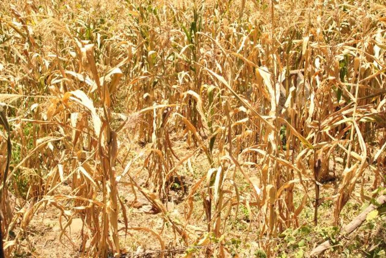 Más de cuatro mil agricultores son afectados en el departamento de La Unión, a raíz de la sequía que ya suma más de dos semanas. No han recibido ayuda. Fotos EDH / Insy Mendoza