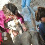 Expertas realizan la excavación de los restos del gonfoterio, los cuales serán analizados para determinar su origen.