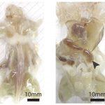 Crean ratones transparentes