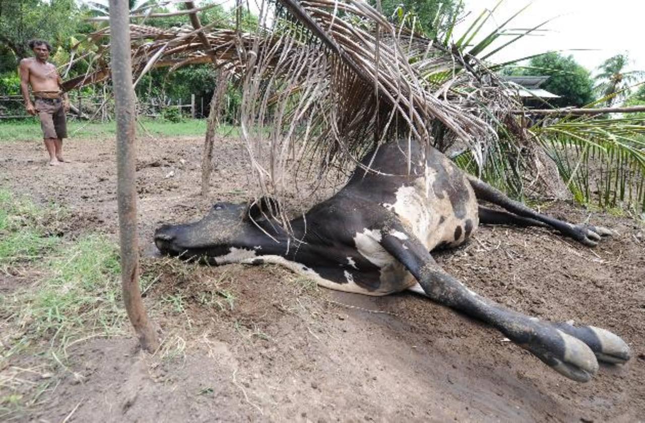 Unas 600 mil reses se están viendo afectadas. Foto EDH