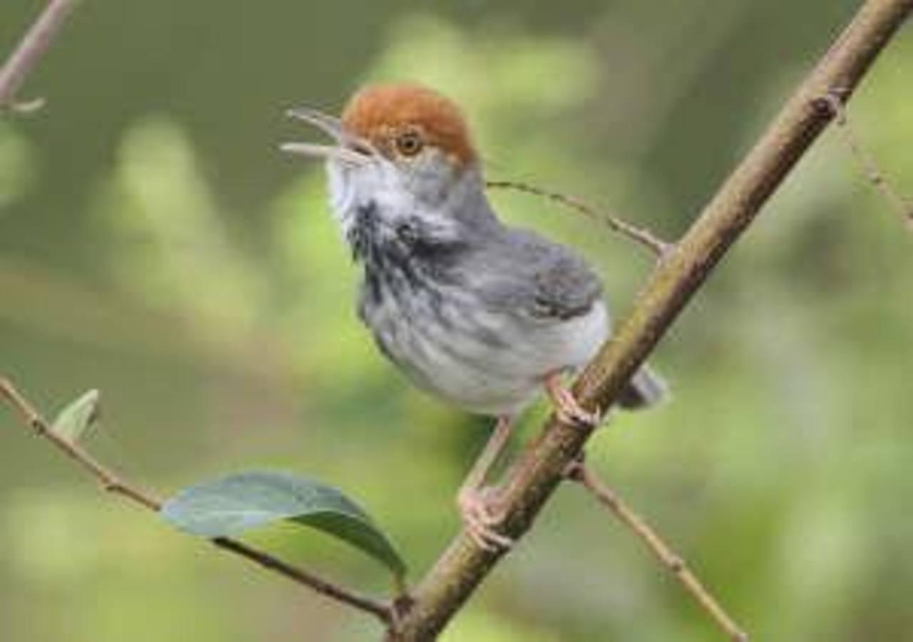 """Según datos de la no gubernamental Alianza para las Áreas Silvestres (ALAS), en Nicaragua se registran al menos 655 especies de aves, un potencial para el """"aviturismo""""."""