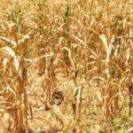 Más de 4,000 agricultores han sido afectados por la sequía en el departamento de La Unión, en El Salvador.
