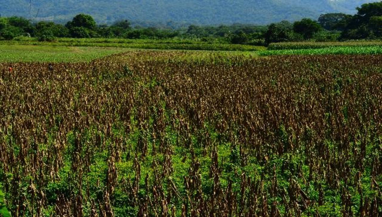 Sequía acabó con 9 millones de quintales de maíz en el país