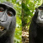 Selfie de mono se queda sin Derechos de Autor