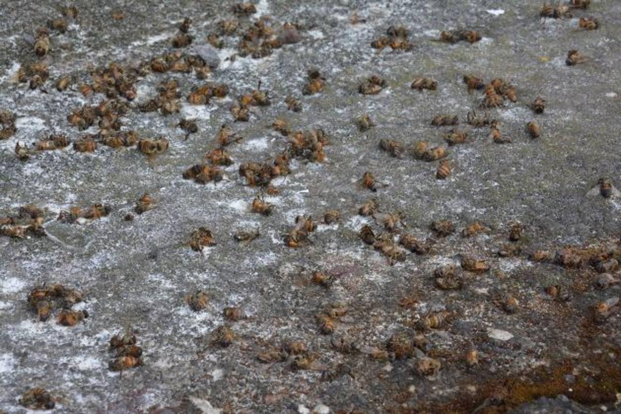 Los últimos dos ataques de los insectos se han dado en la última semana. Pobladores tienen temor de que haya más gente víctima de las abejas en la ciudad. Foto EDH /carlos segovia
