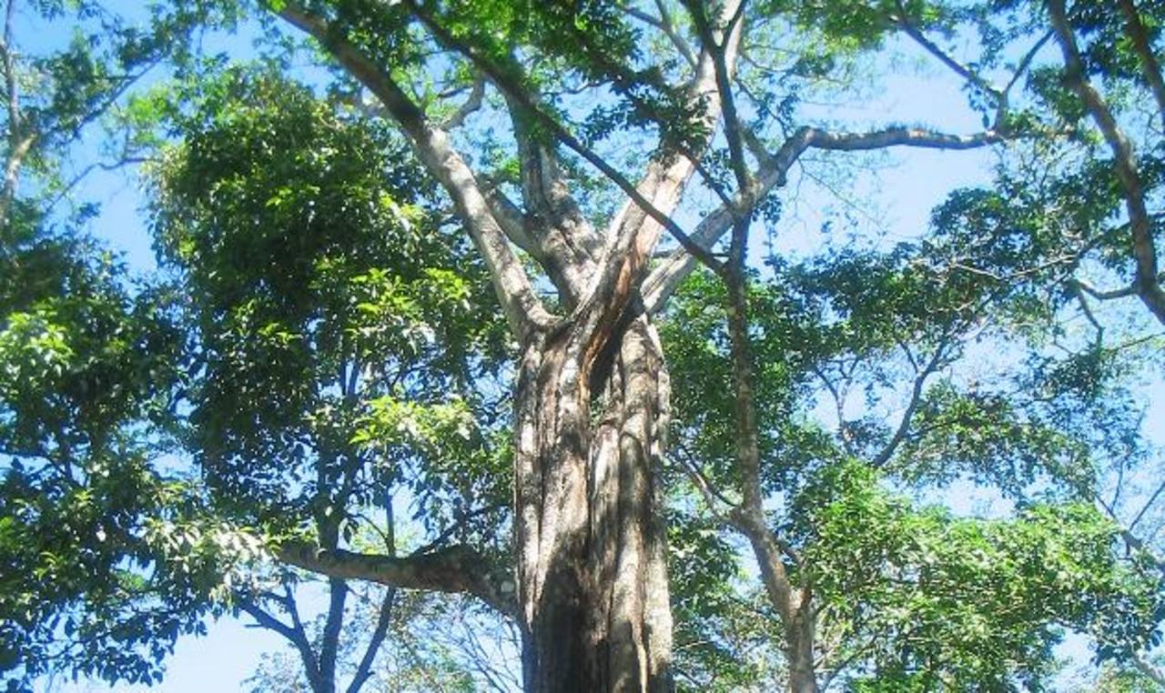 Un árbol de bálsamo contribuye a mejorar suelos en pocos años. foto edh / archivo