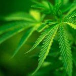 Consumo de marihuana elevaría riesgo de discapacidad