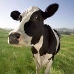 Mujer roba vaca y la pinta para que no la identifiquen
