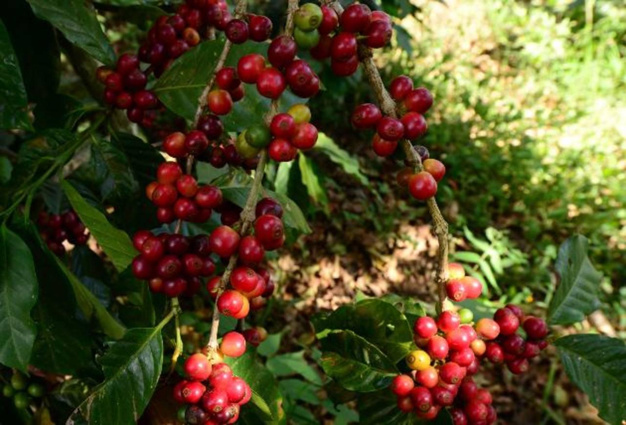 Hasta julio las exportaciones de café aumentaron 20.6 %.