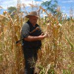 Muchos cultivos de maíz del oriente del país se secaron ante el estrés hídrico que sufrieron. foto edh / insy mendoza