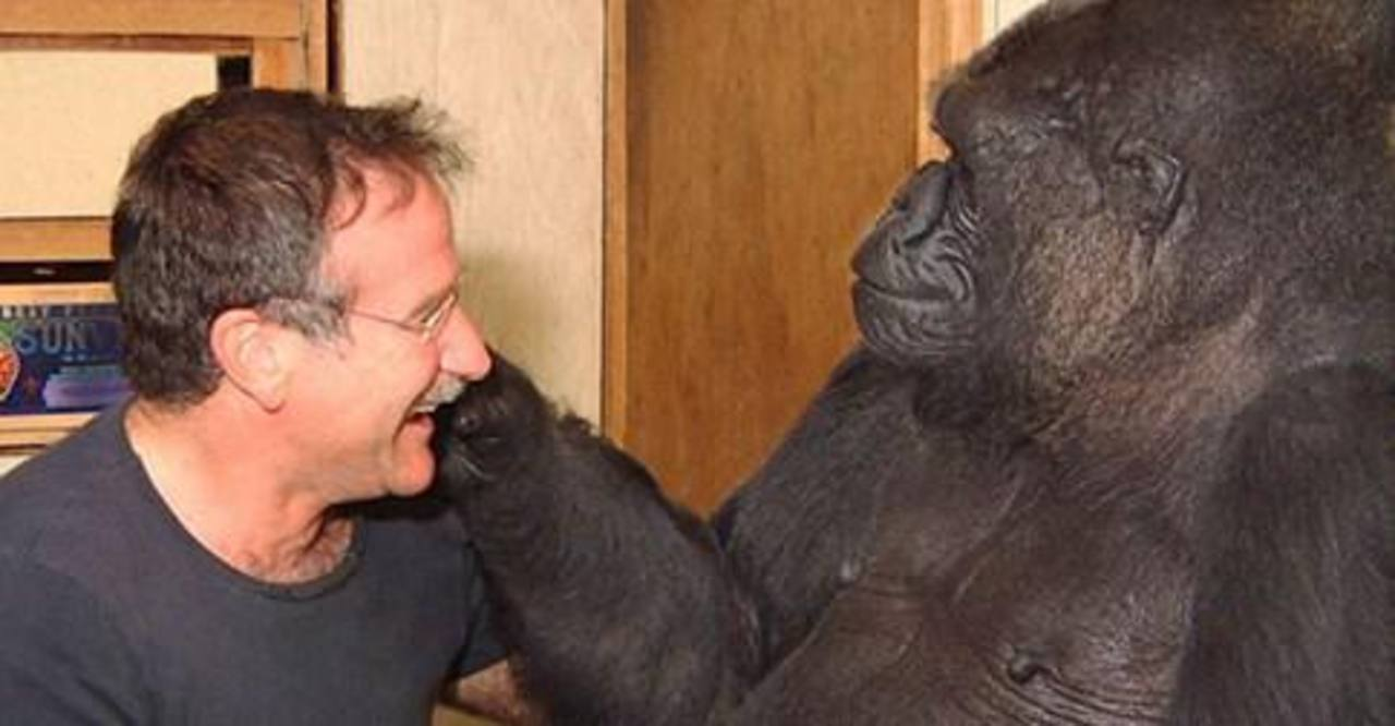 Gorila llora la muerte de Robin Williams