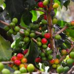 La FAO presenta herramienta tecnológica contra roya del café en Centroamérica
