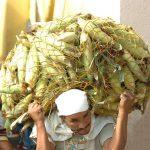 Comerciantes señalan que el maíz que compran por red (300 unidades) también experimenta alzas. Ha pasado de $25 a $35 en este volumen.Foto edh /