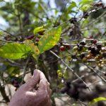 Se estima que el 53 % de áreas cultivadas de C. A. ha sido atacada por el hongo.