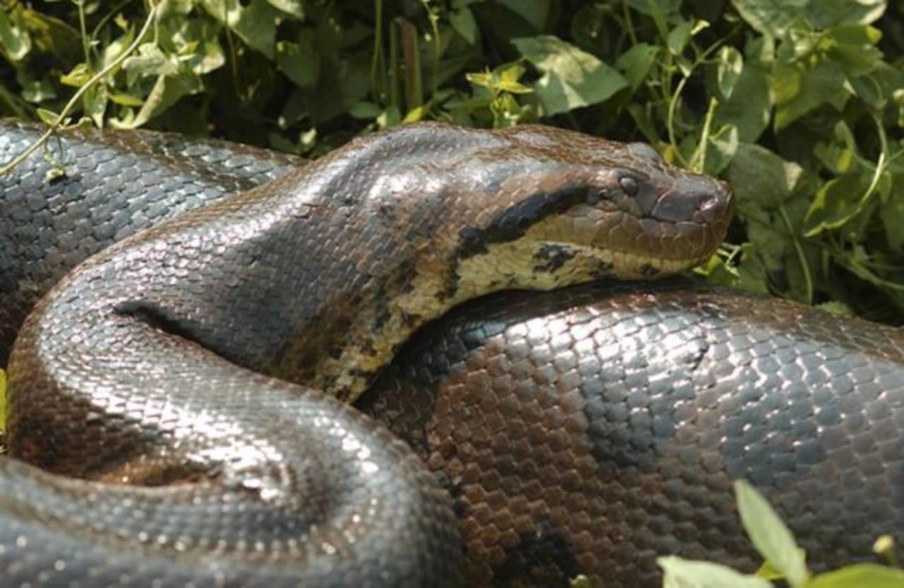 Video: Captan gigantesca anaconda en río de Brasil