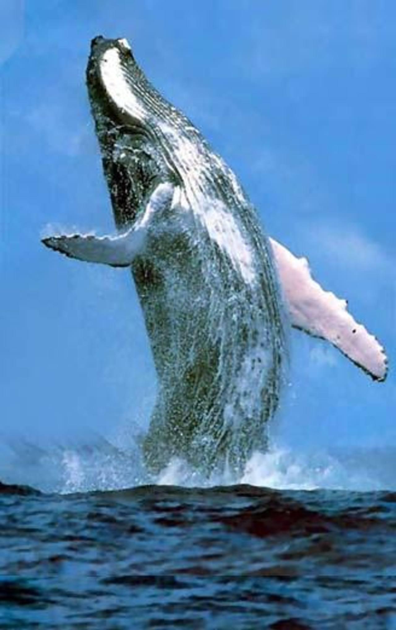 Las ballenas jorobadas llegan entre julio y octubre a aguas costarricenses. Foto eDH