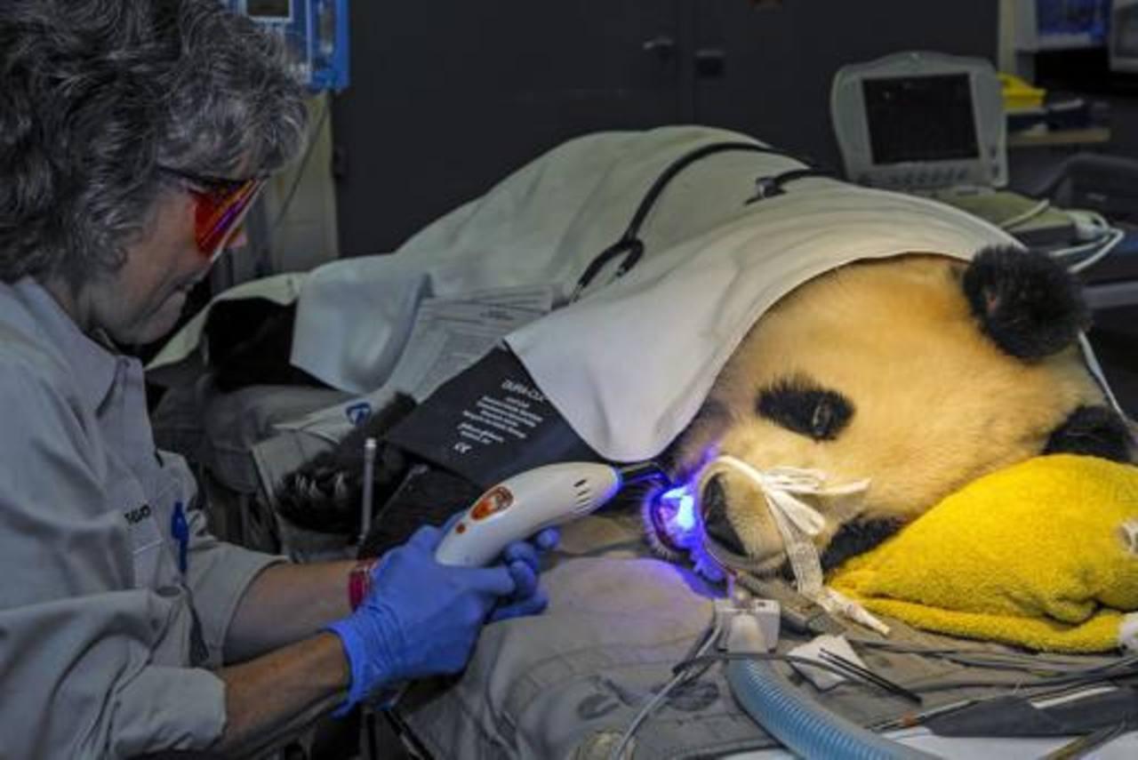 Meg Sutherland Smith, directora adjunta de servicios veterinarios del zoológico de San Diego, da tratamiento odontológico a la panda gigante Bai Yun.