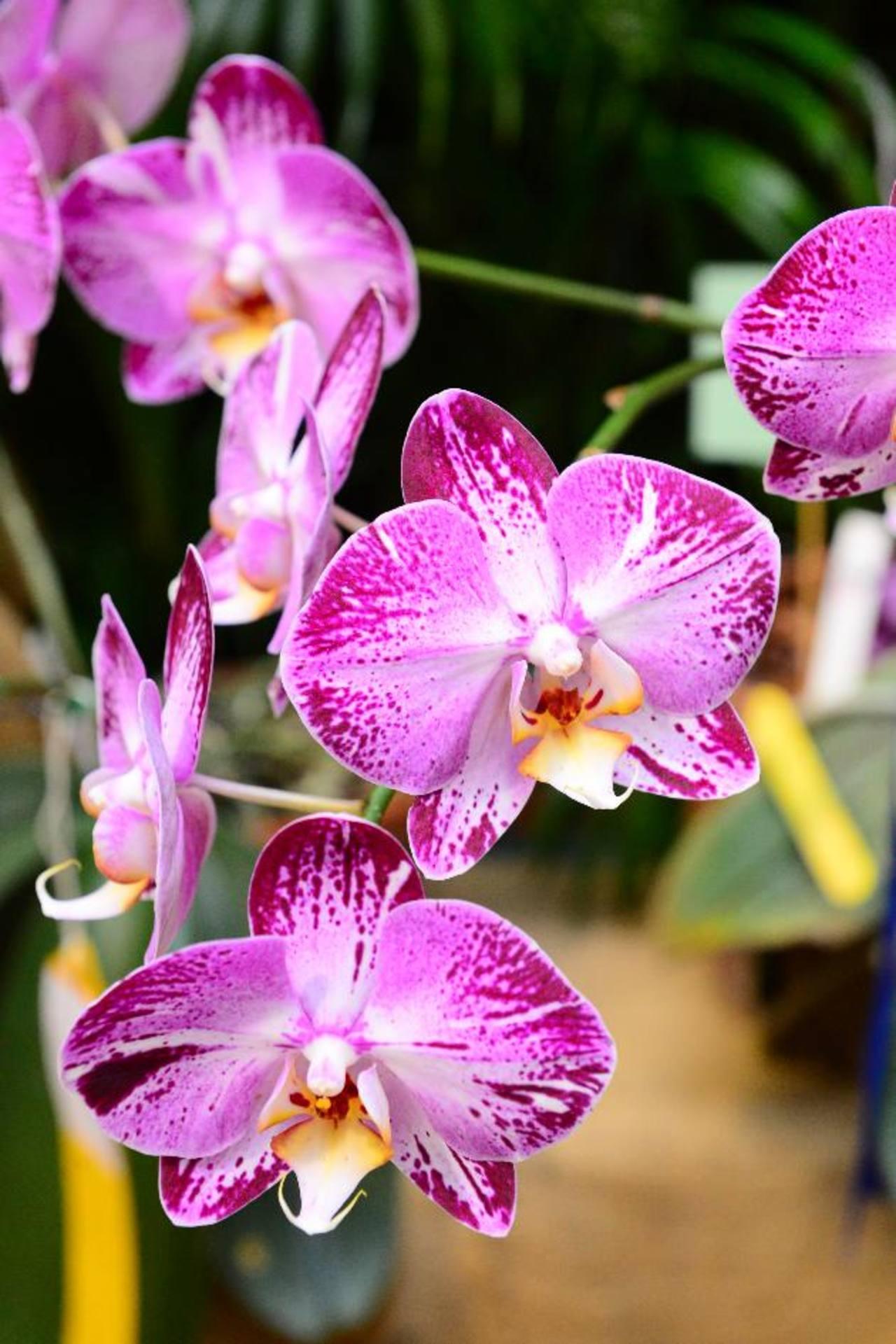 """Más de 400 orquídeas forman parte de la exhibición """"Un mundo que apasiona"""". Foto EDH/ César Avilés"""
