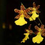 Por primer vez, la ASO celebra el florecimiento de orquídeas en época de lluvia. Foto EDH / ERICKA CHÁVEZ