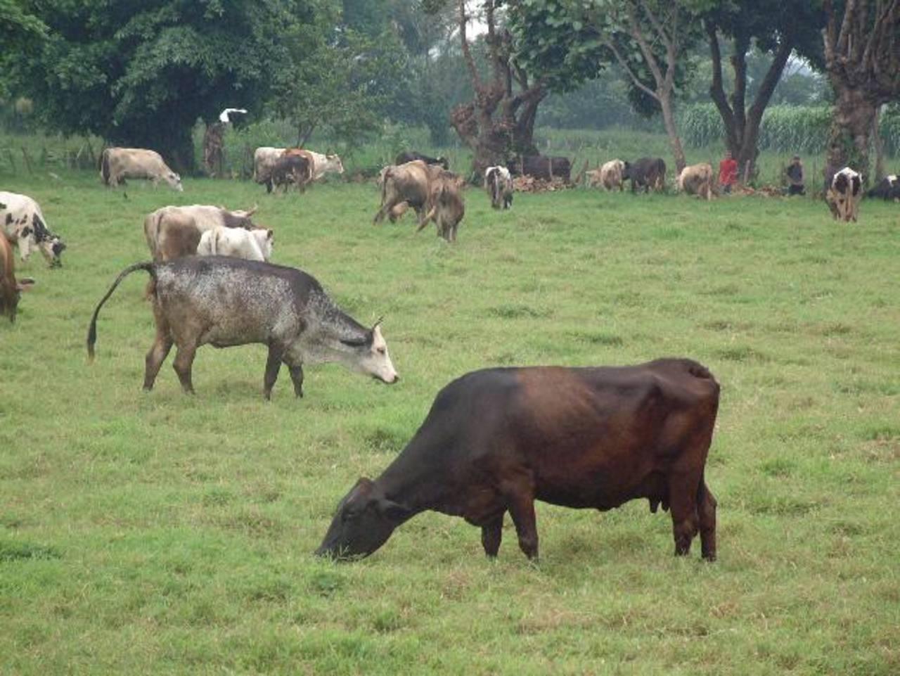 La falta de pasto en los campos impactó en la producción lechera, lo que incrementó costos. foto edh /archivo