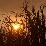 La expectativas están puesta en el que el invierno finalice en octubre para iniciar zafra en noviembre. Foto EDH / archivo