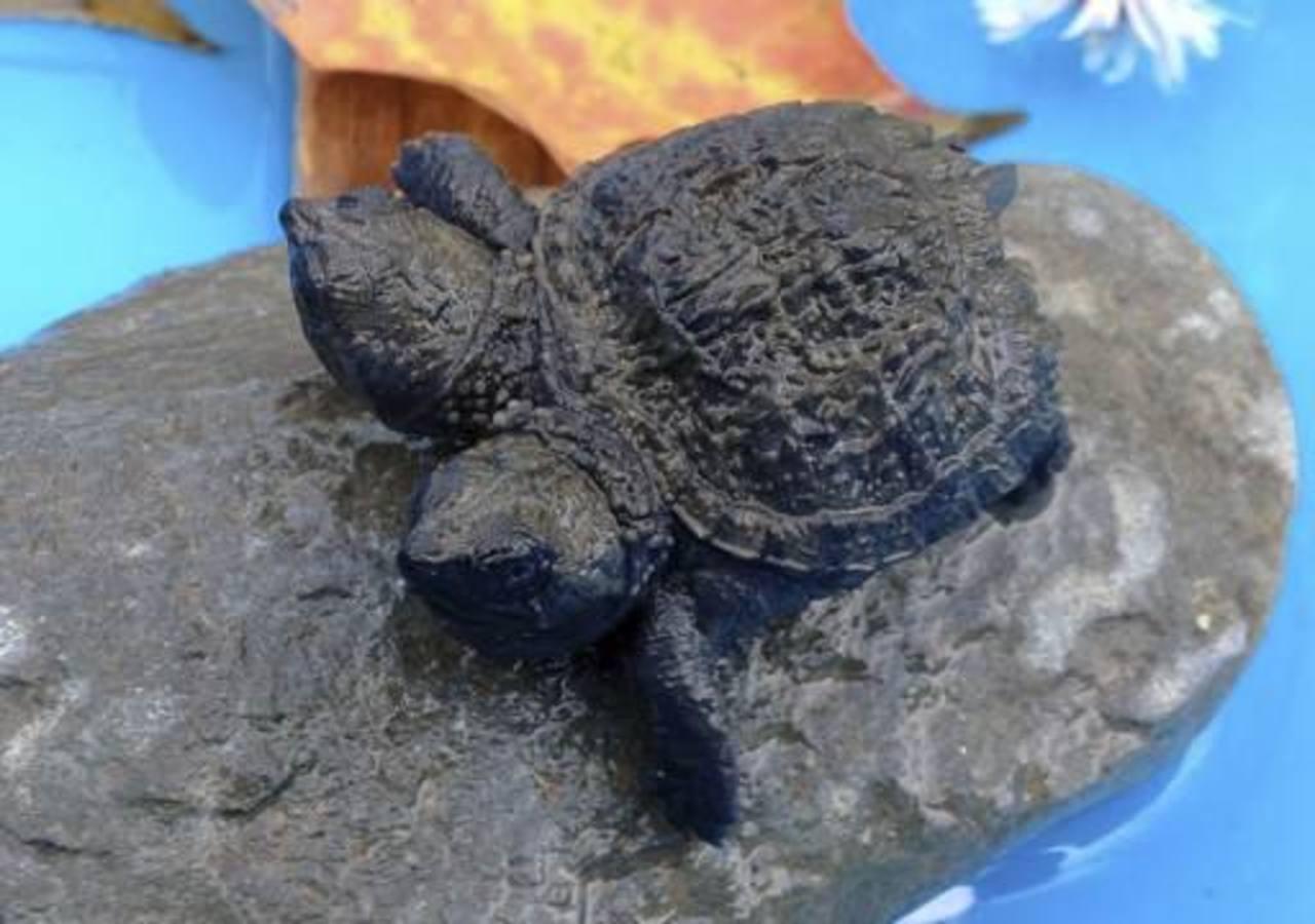 Hallan tortuga bebé bicéfala en Estados Unidos